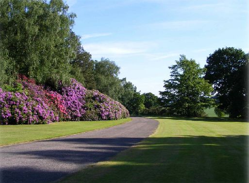 The beautiful rhodedendrons along the drive